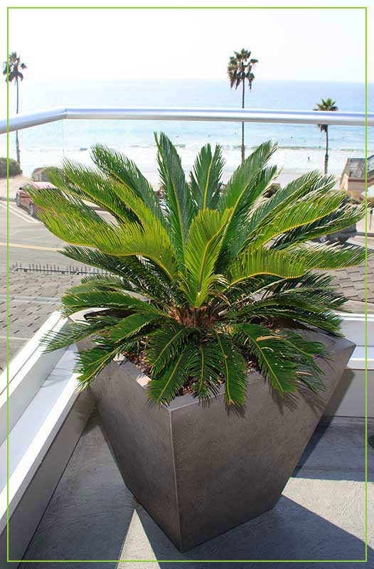 patioscaping-palm-in-container-1